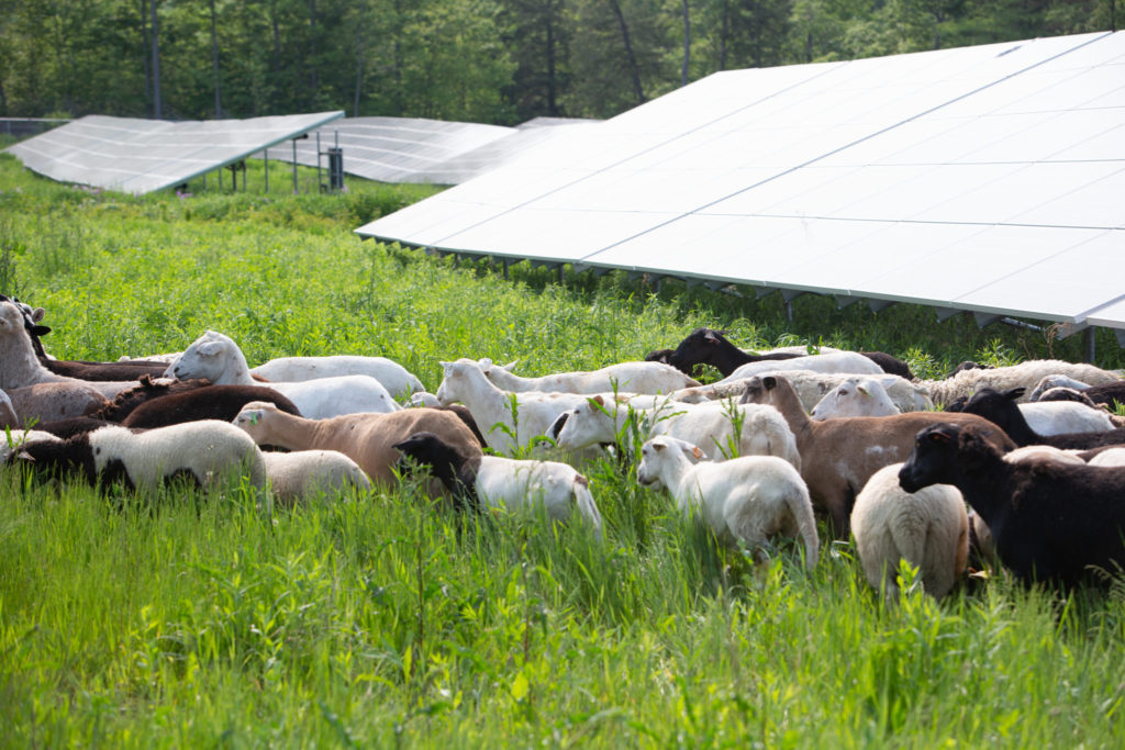 solar grazing güneş enerjili hayvancılık